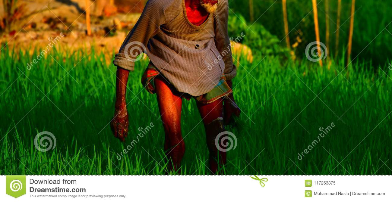Download An Old Poor Man Working In A Paddy Field Unique Photo Stock Image - Image of alone, field: 117263875