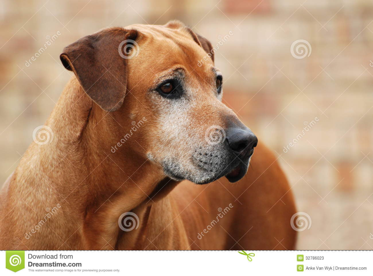 How Old Do Male Dogs Have To Be To Breed