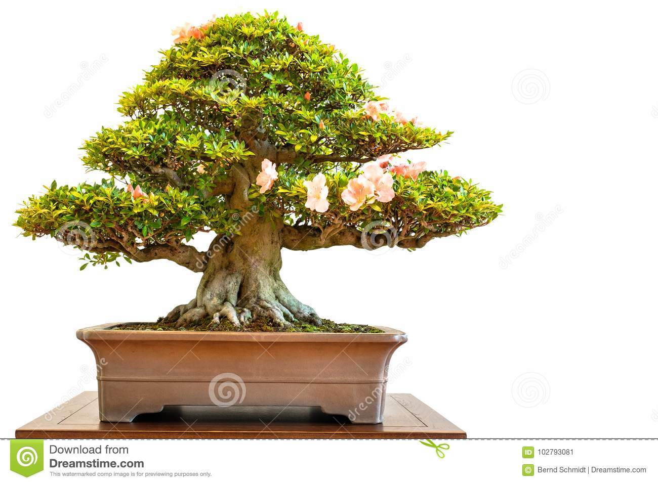 Old Rhododendron Bonsai Tree With Flowers Stock Image Image Of