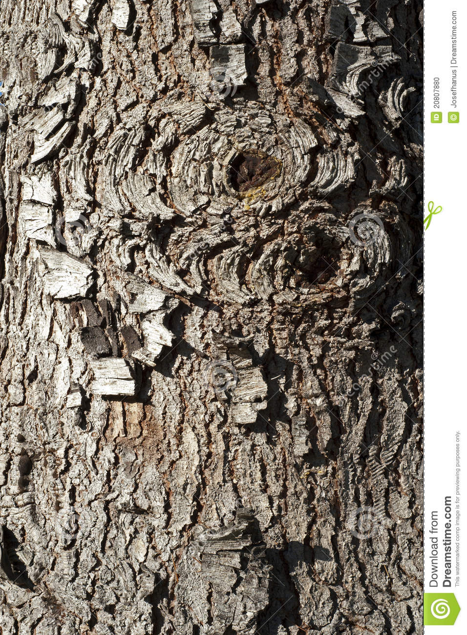 Old rind of Red Spruce tree