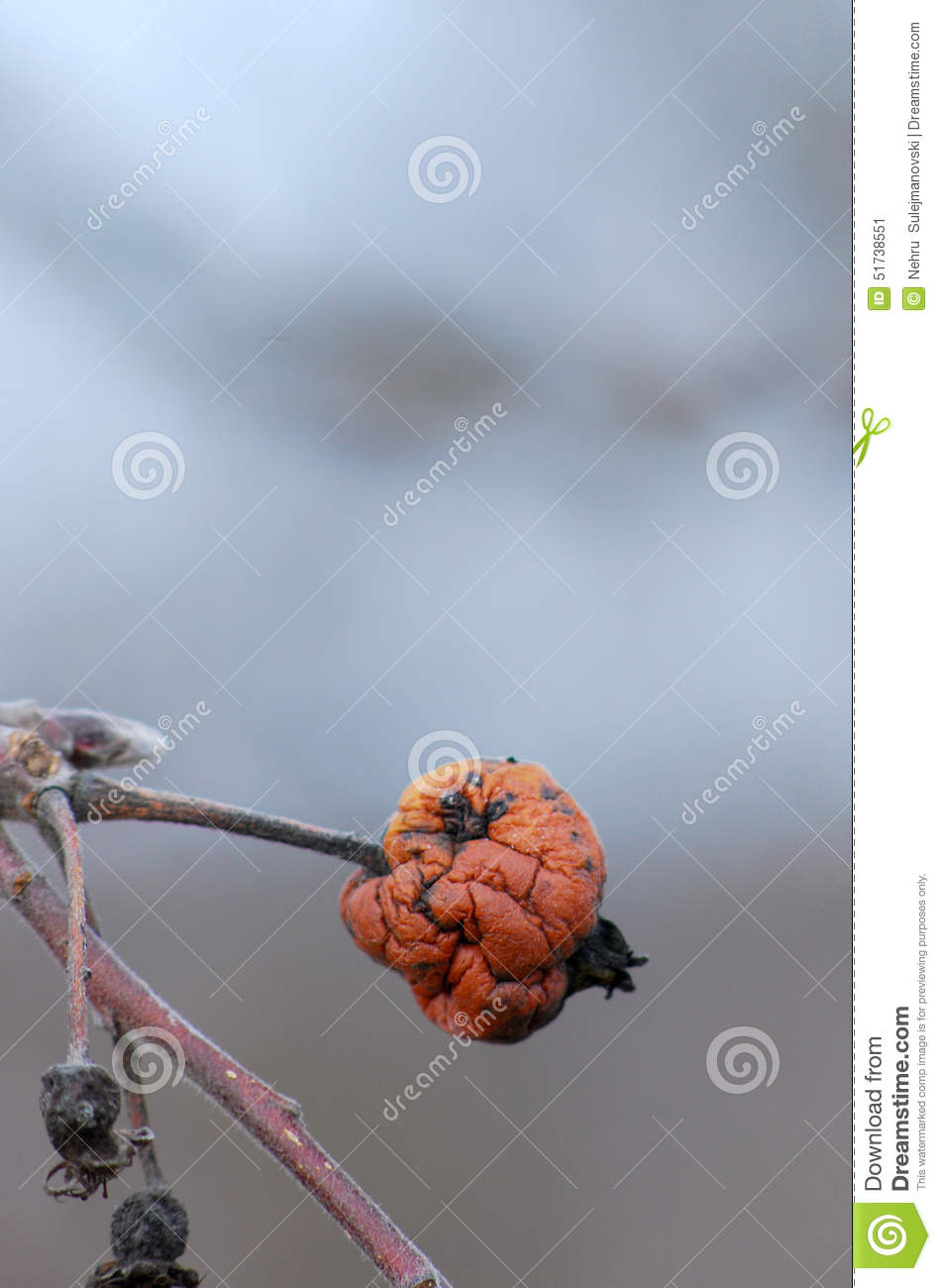 old rotten apple hanging on a branch stock photo image 51738551