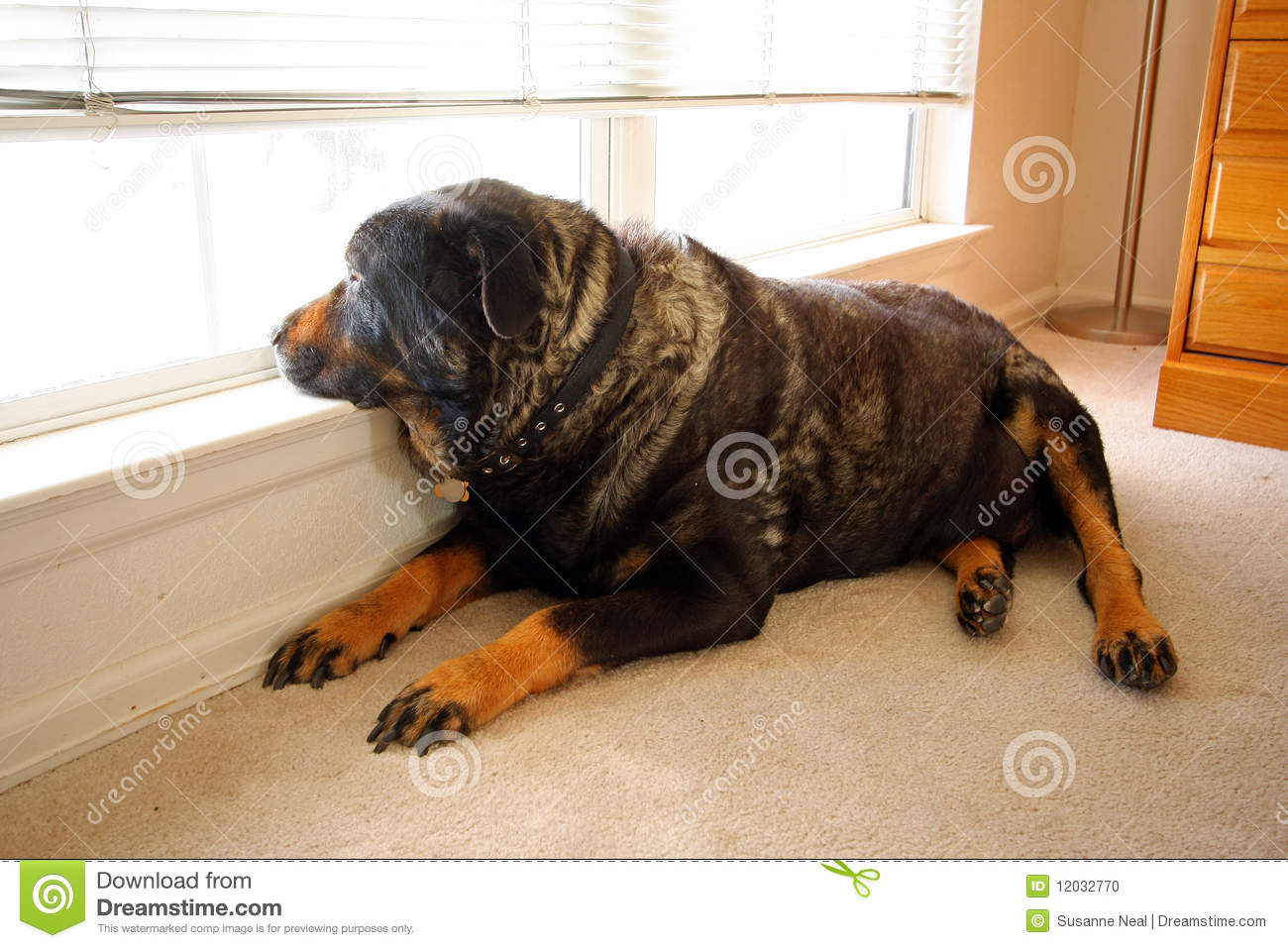 A big old rottweiler gazes out a bright very low window he probably wishes he were young again and could run around outside