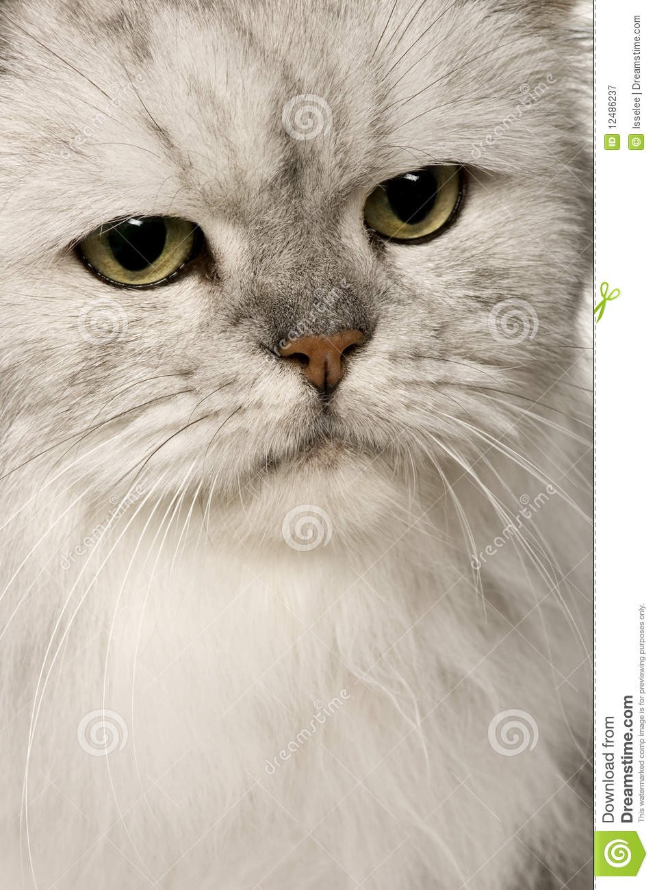 86ae9542445f Old Silver Persian cat stock image. Image of portrait - 12486237