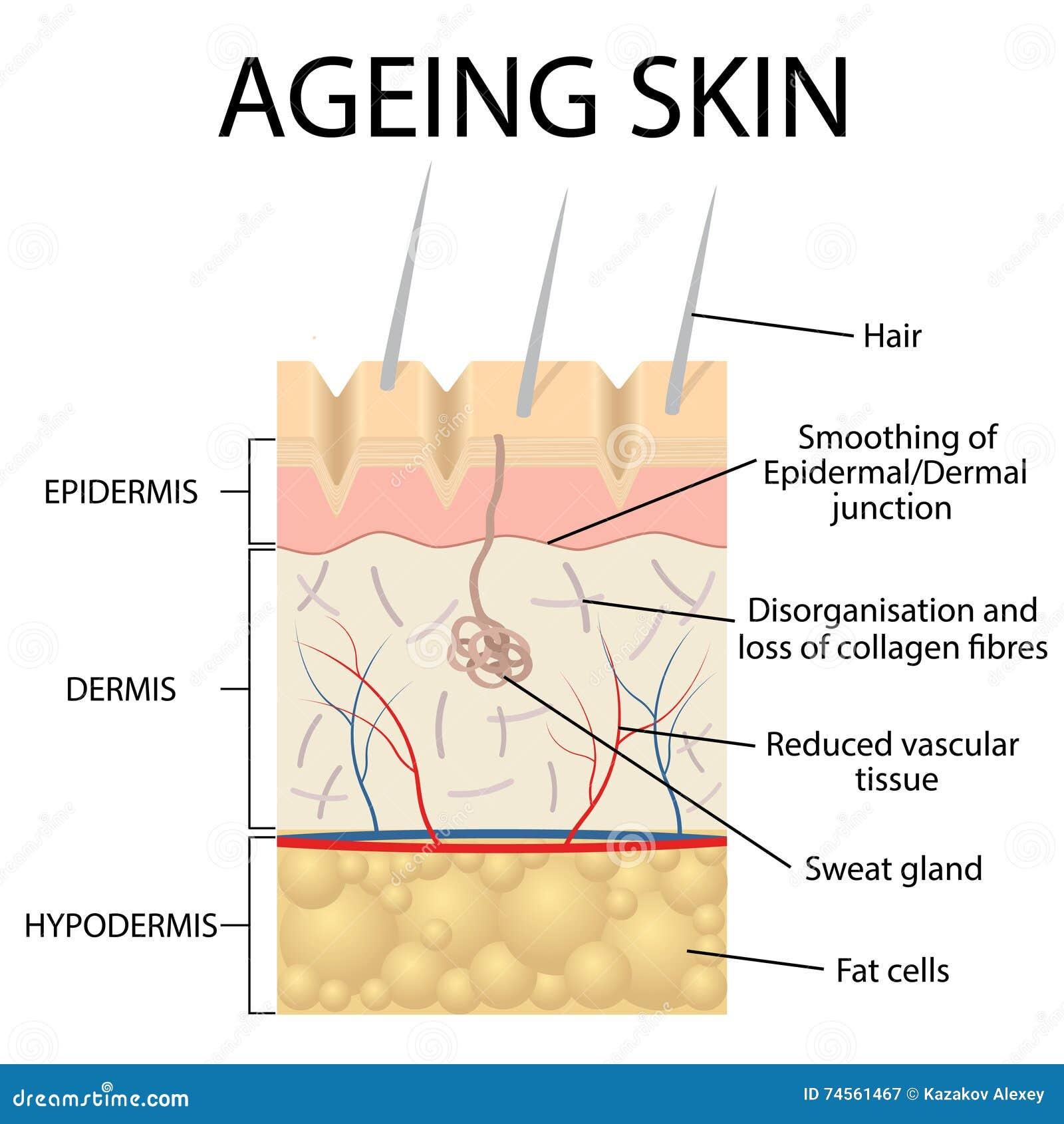 Old Skin Anatomy Stock Vector Illustration Of Skincare 74561467