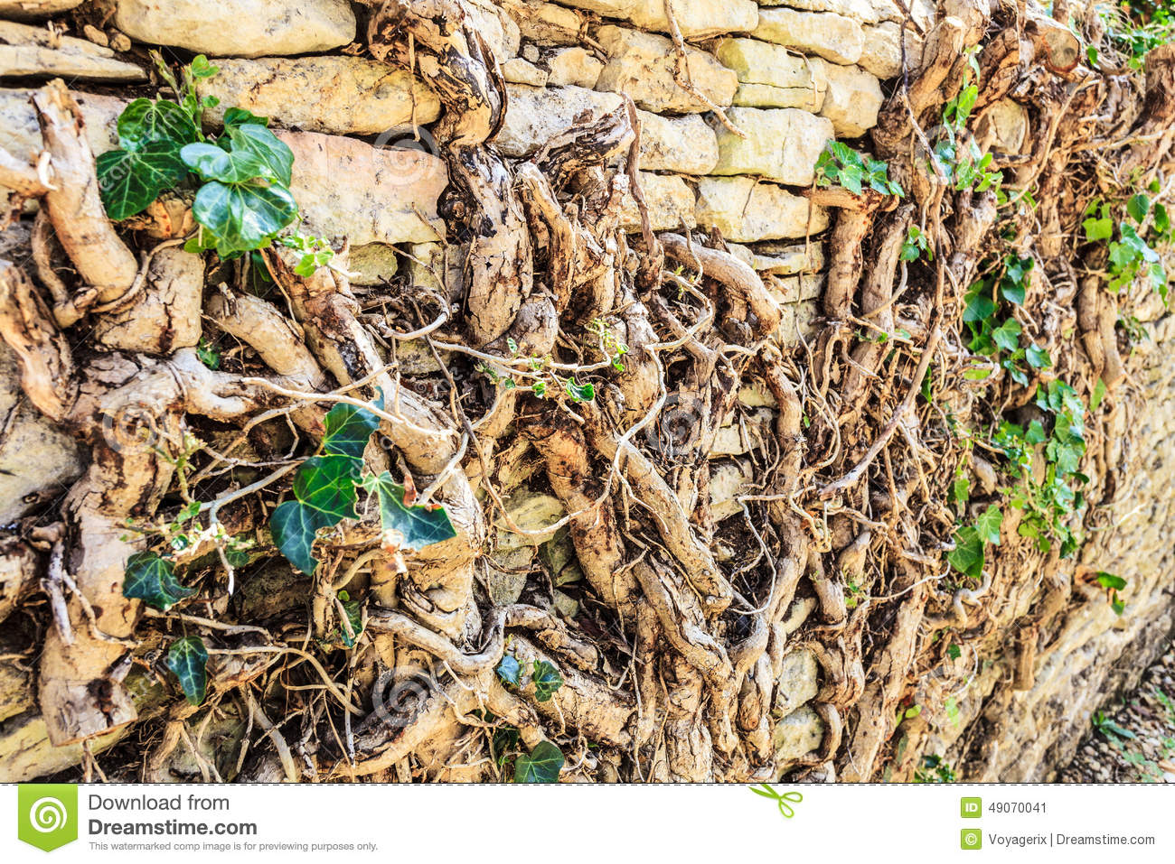 Old Stone Wall With Root Tree Stock Photo Image 49070041