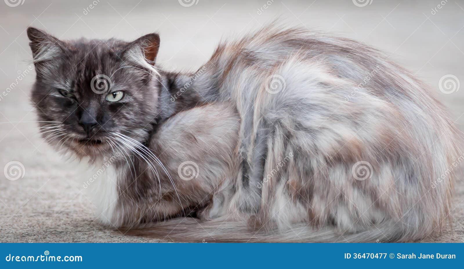 ragdoll cat rescue ny