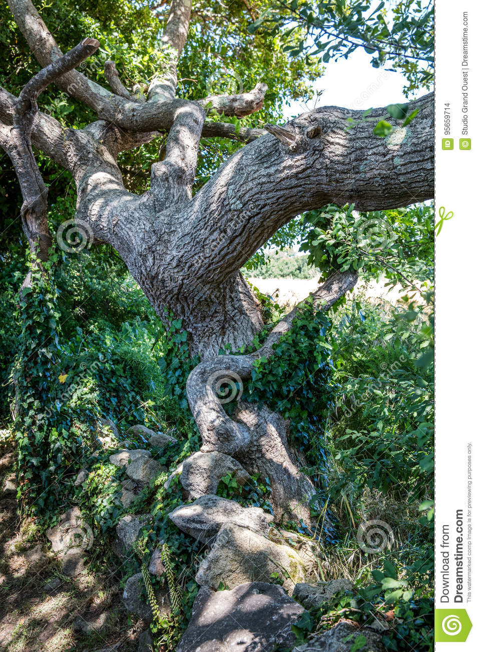 Old tortuous oak tree with ivy for concept of history