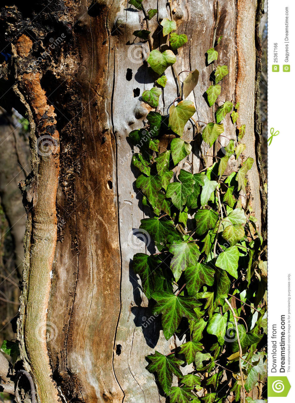 Old Tree With Ivy Leafs Royalty Free Stock Image