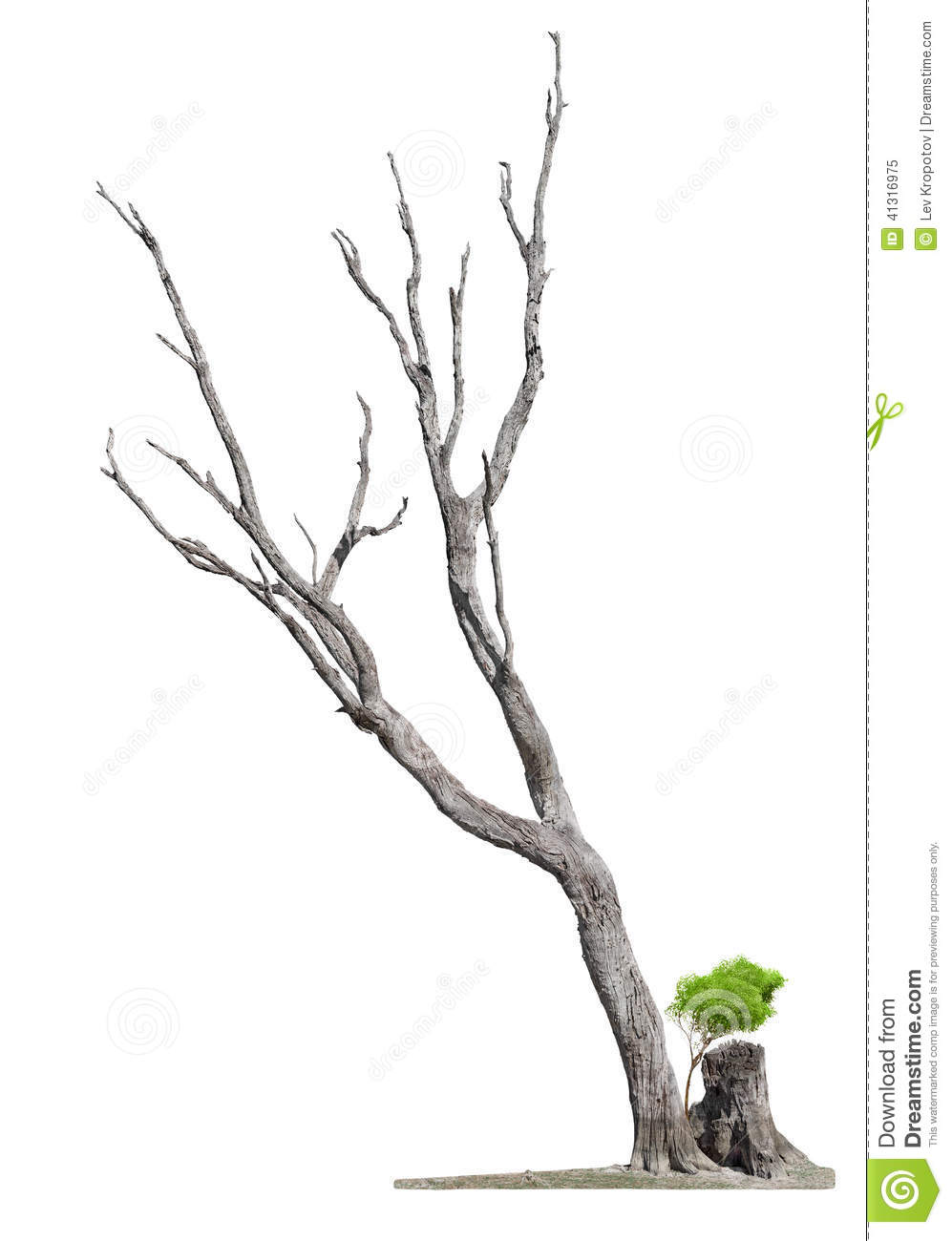 old tree on white background concept death and life