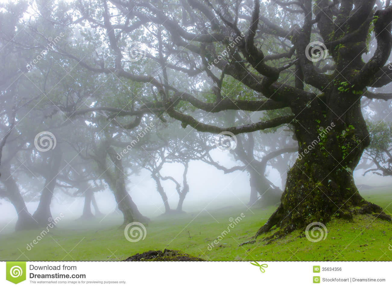 Old Trees In The Mist Royalty Free Stock Image - Image: 35634356