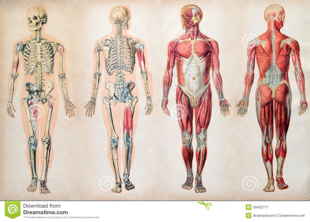 old vintage anatomy charts of the human body stock photo - image, Muscles