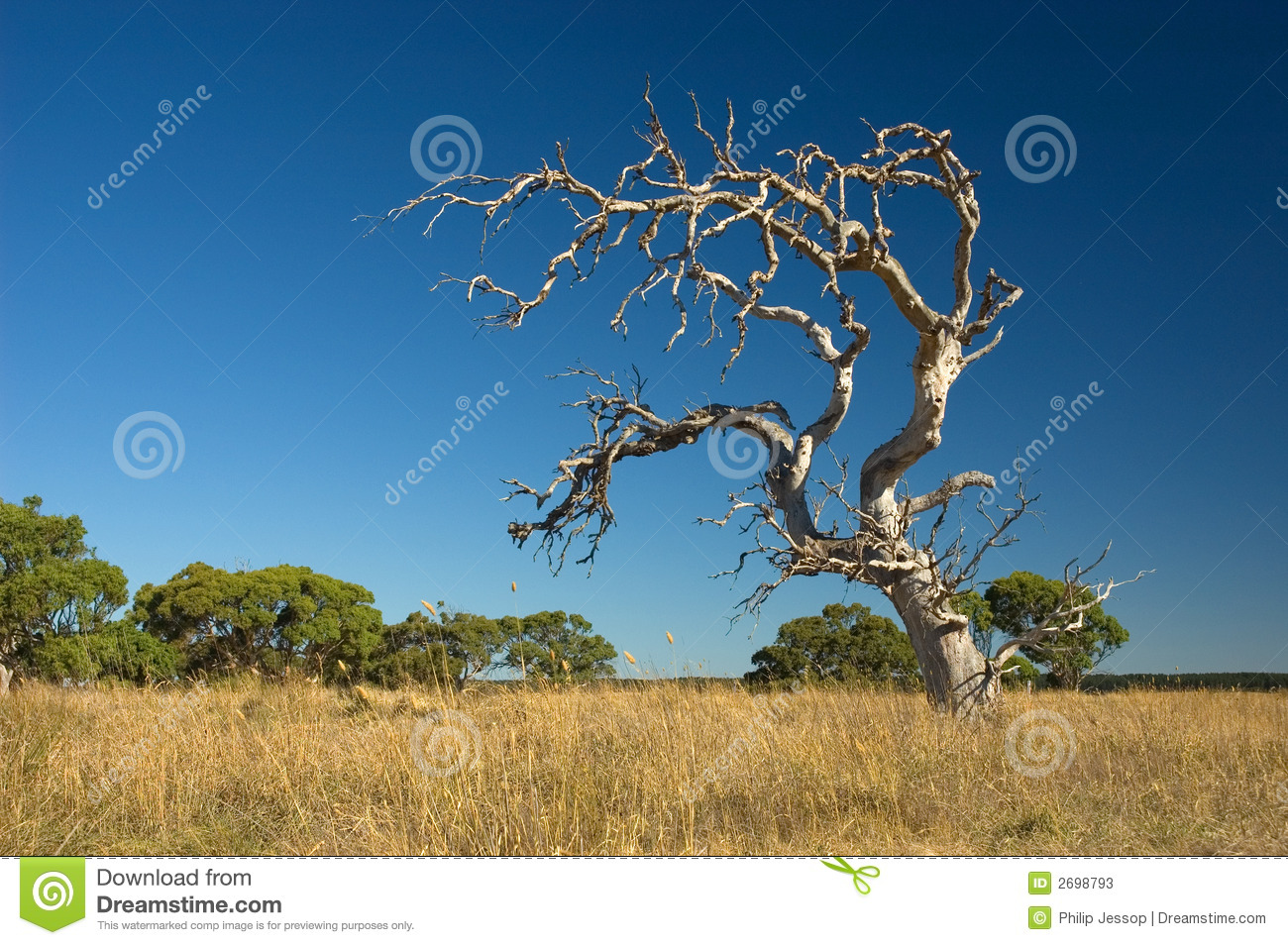 Old withered tree stock image. Image of dead, australia ...