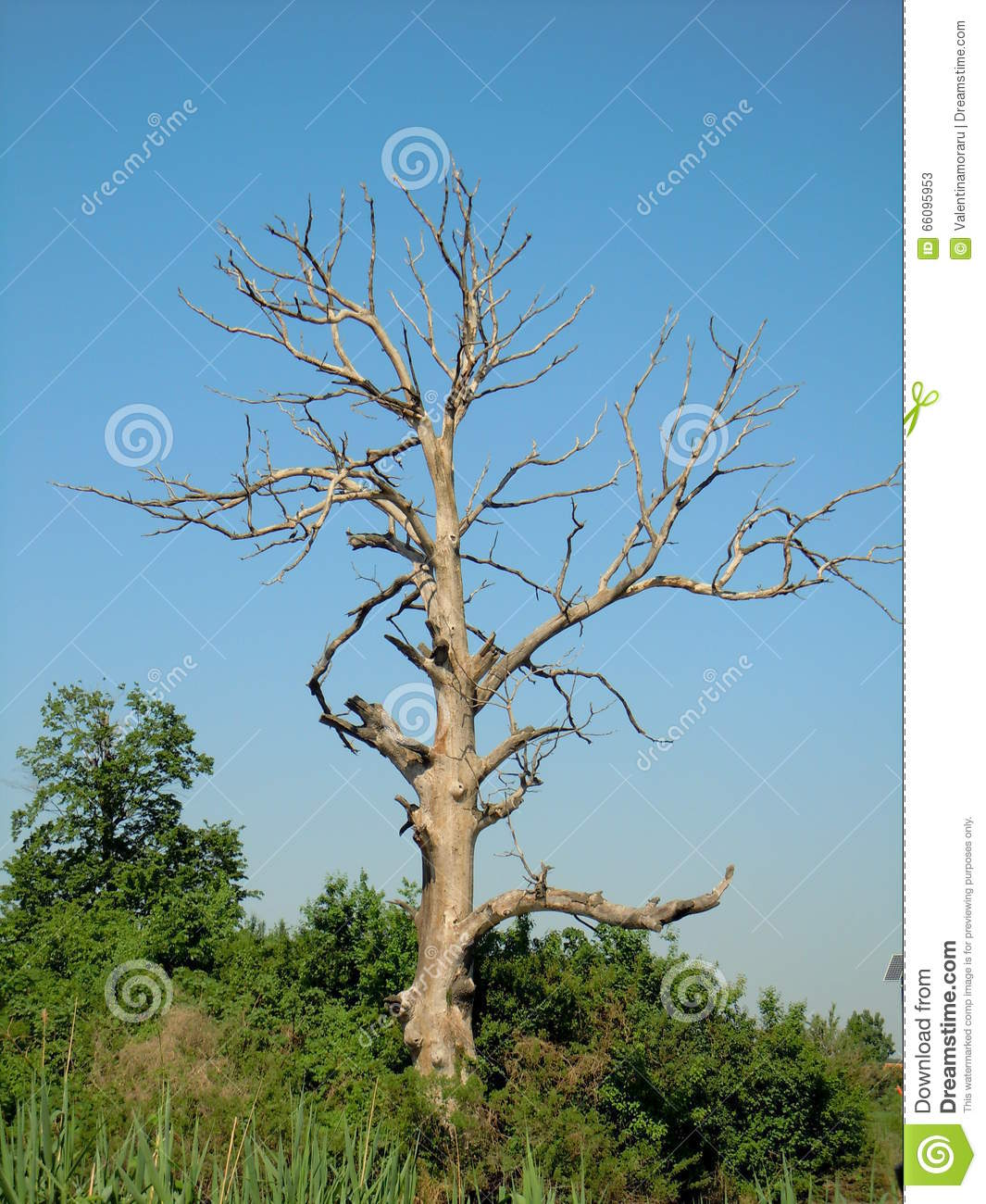 Old withered tree stock image. Image of nature, dying ...