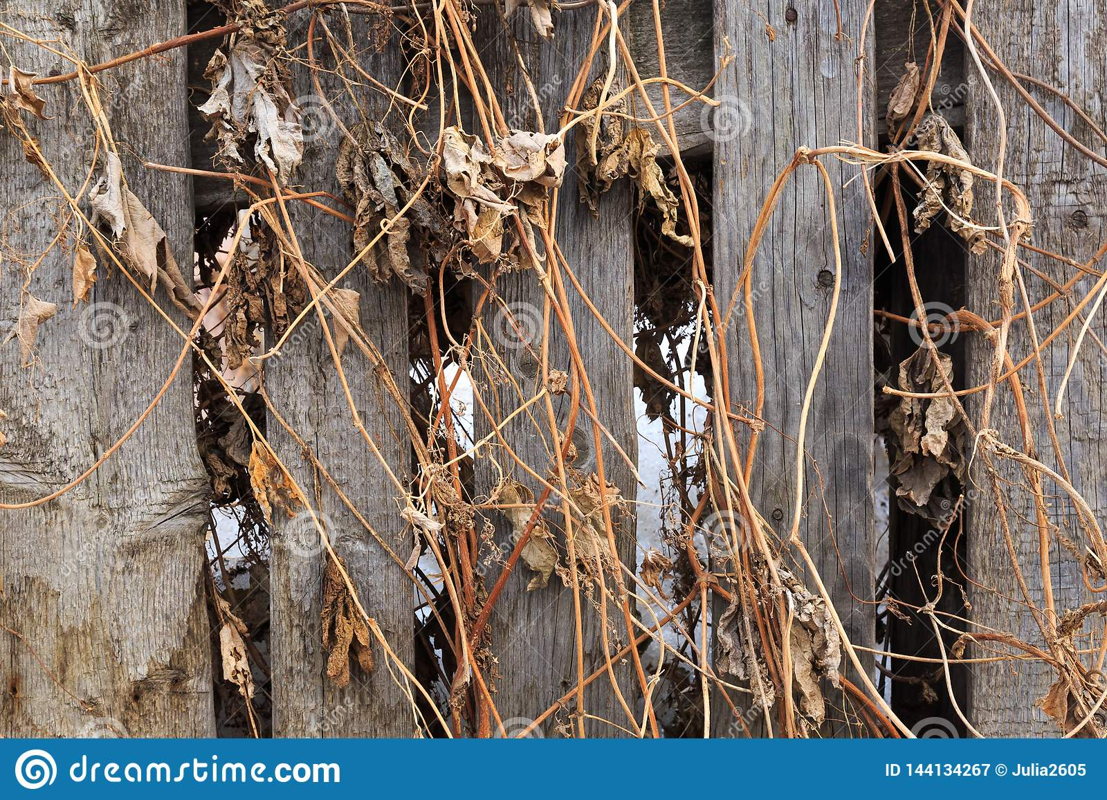 Old wooden fence entwined with last year`s dry grass.