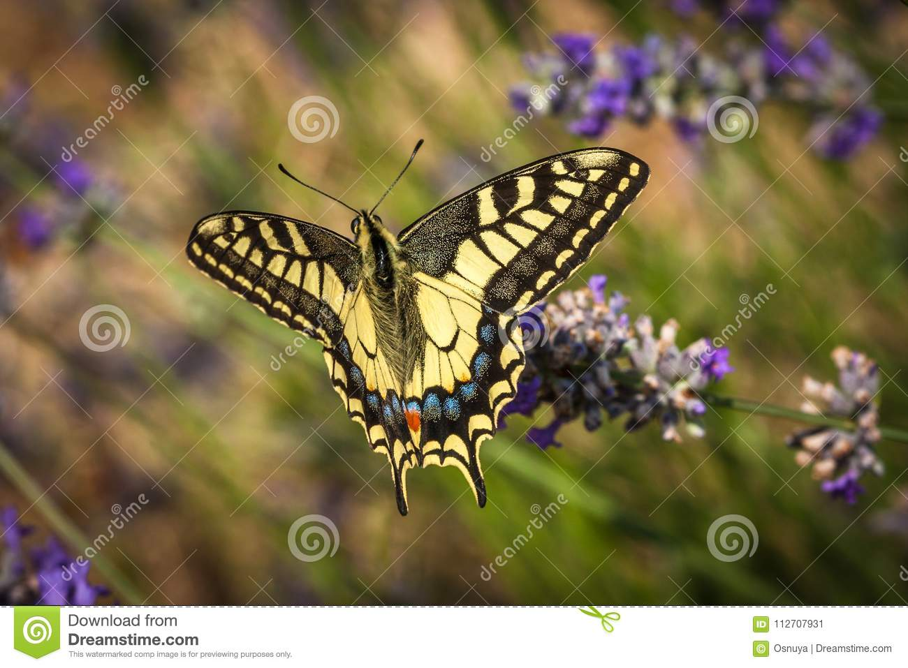 Old World swallowtail butterfly sitting on a lavender flower