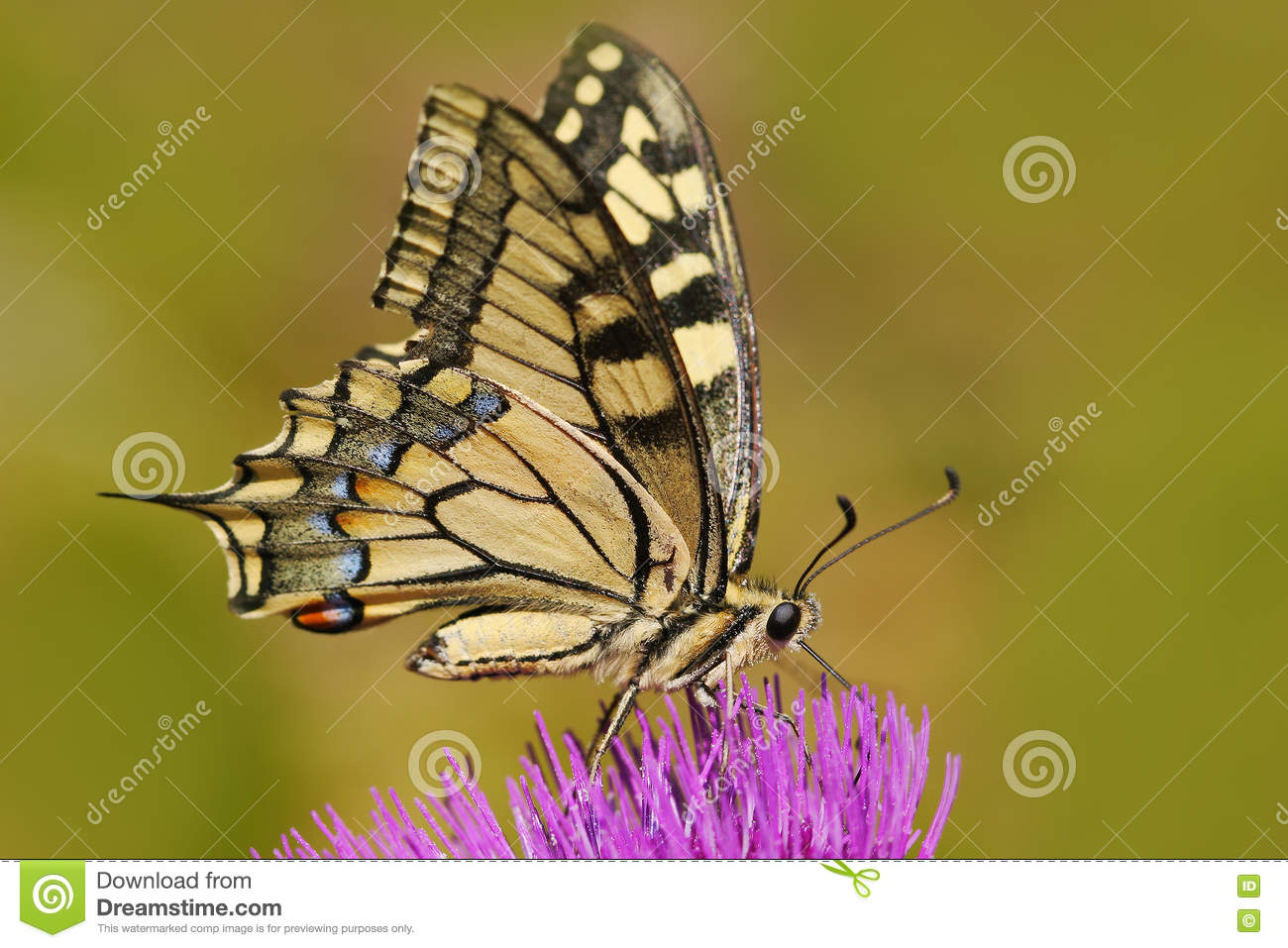 Old World swallowtail, Papilio machaon, butterfly sitting on the pink flower in the nature. Summer scene from the meadow.