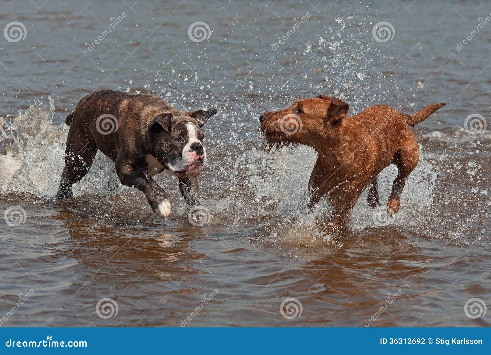 Olde Angielski buldog i Irlandzkiego Terrier bawić się
