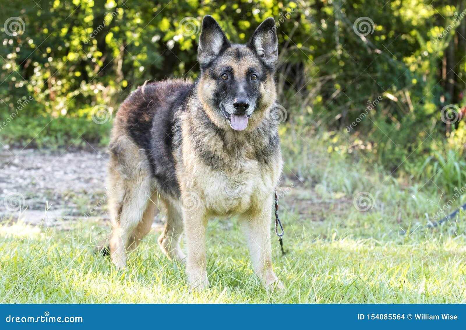 Senior German Shepherd Dog outside on leash