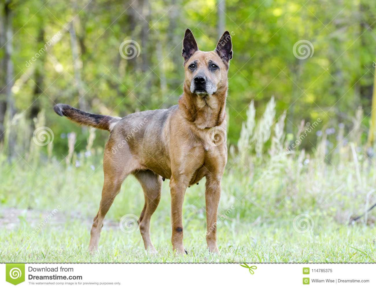 Older red Shepherd mix breed dog wagging tail, pet rescue adoption photo