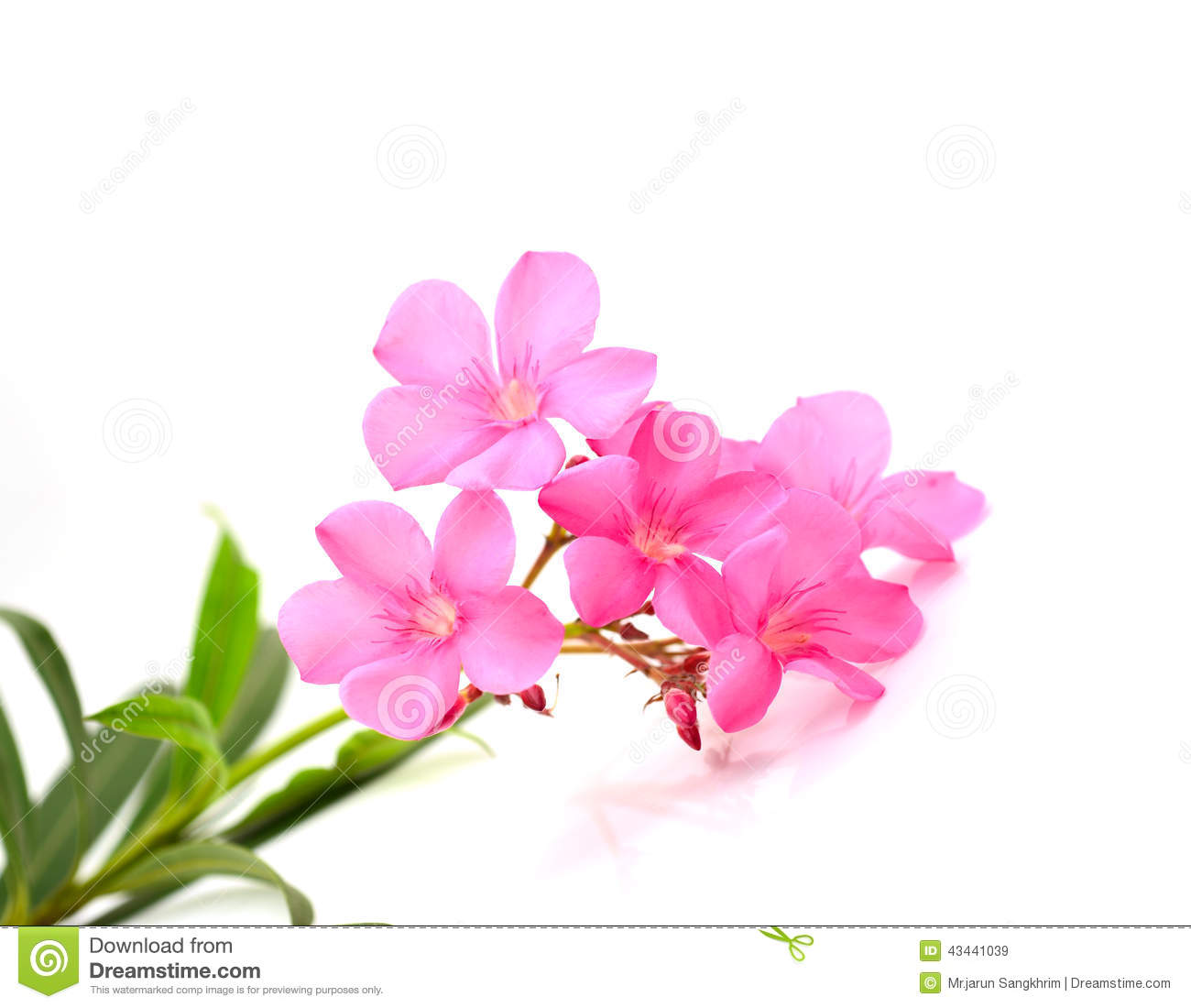 Oleander Flower Stock Image Image Of Bouquet Blooming 43441039