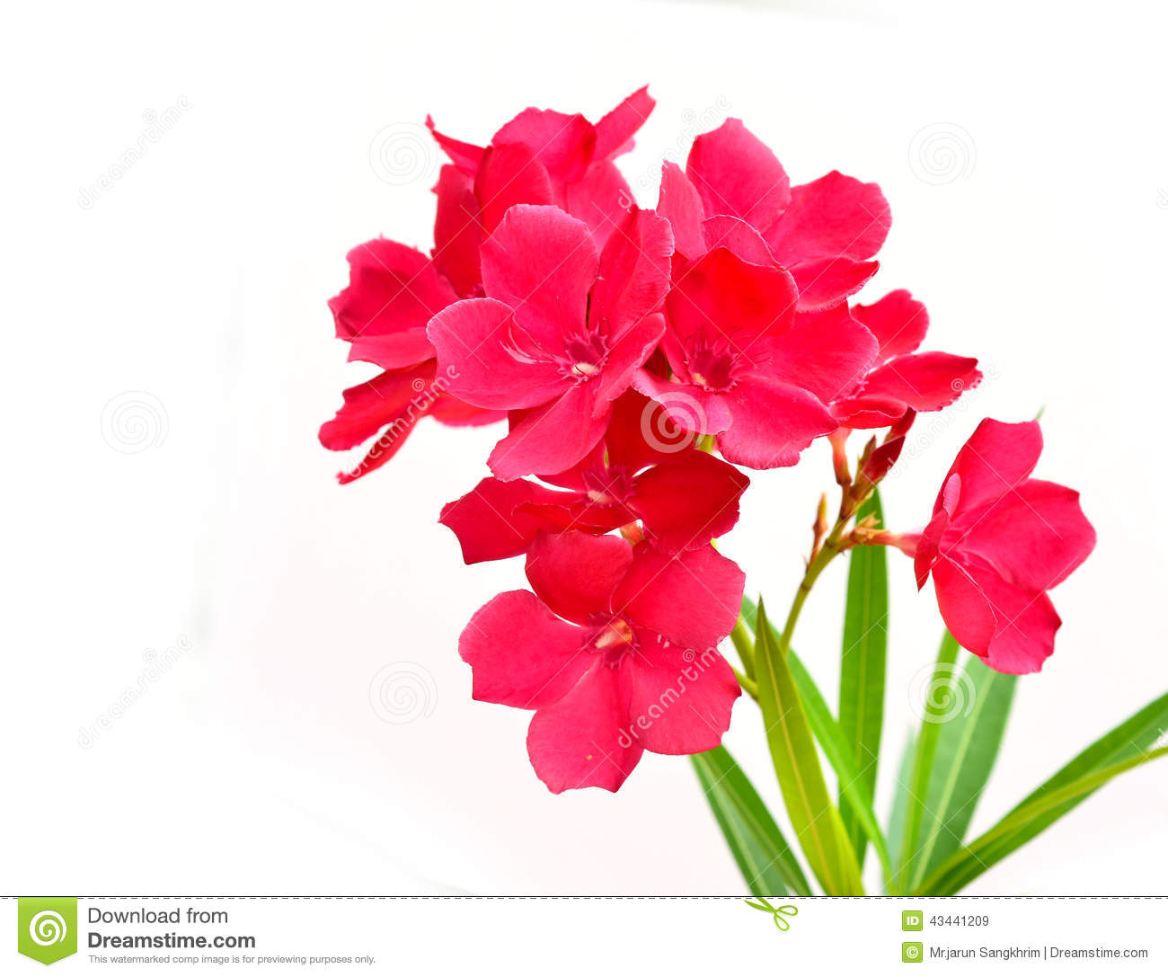 Oleander Flower Stock Image Image Of Macro Bloom Black 43441209