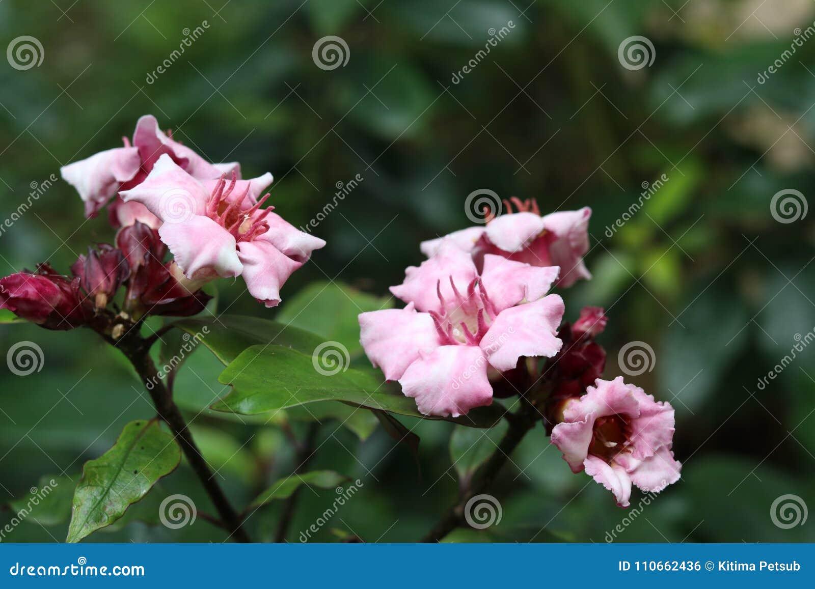 Oleander kletternd, sahnen Sie Frucht