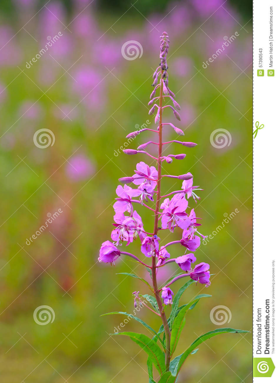 Oleander Willowherb