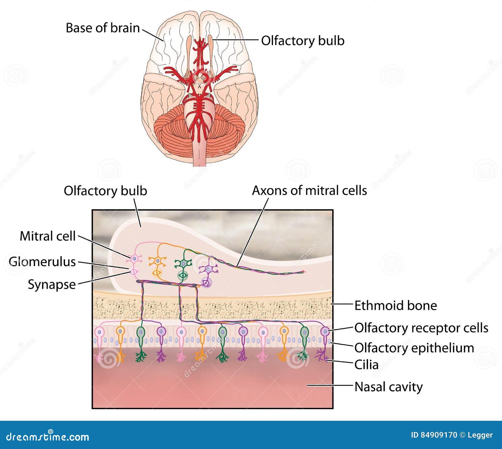 Olfactory Bulb Stock Illustration Illustration Of Anatomy 84909170