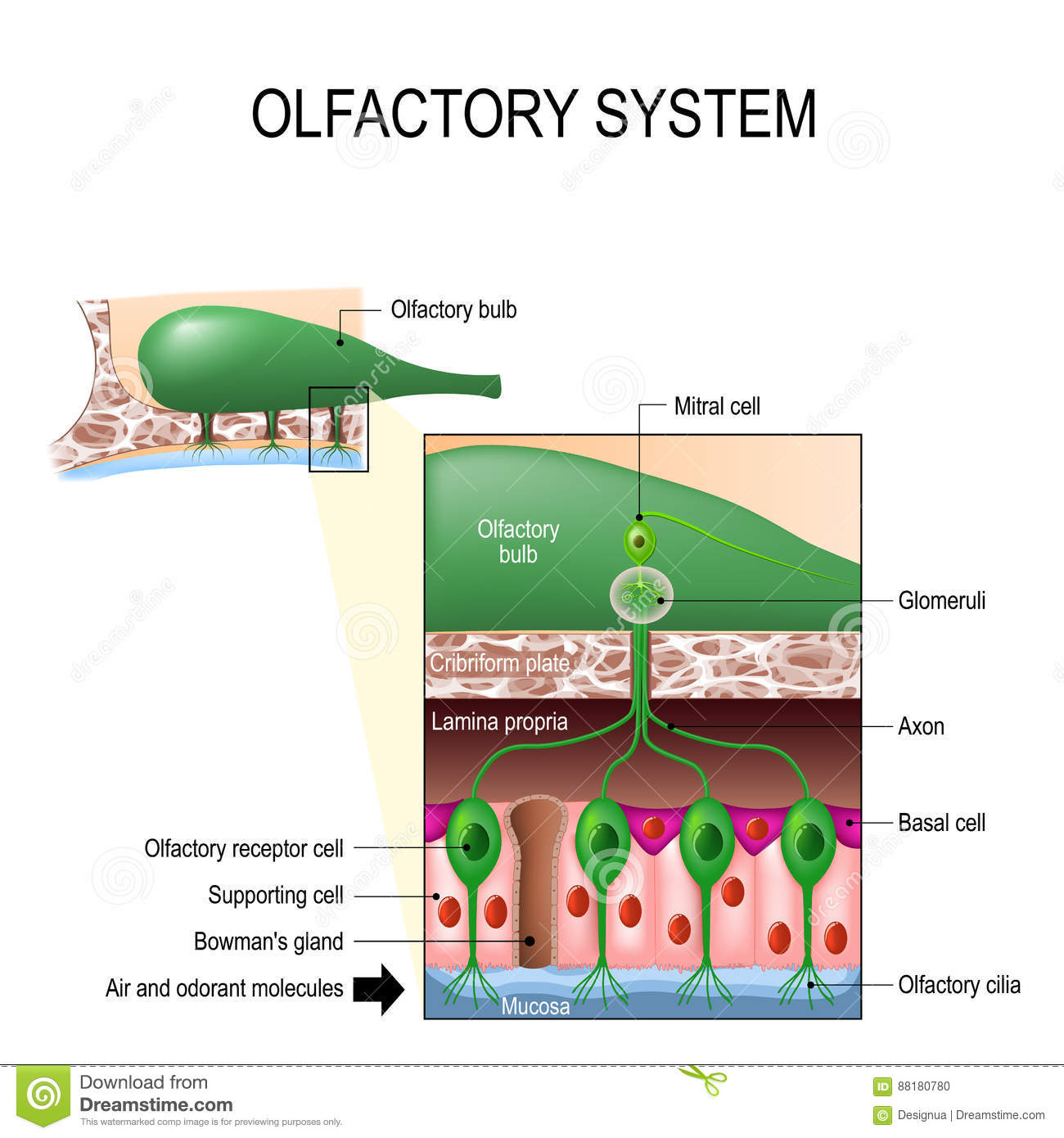Olfactory System Sense Of Smell Human Anatomy Stock Vector