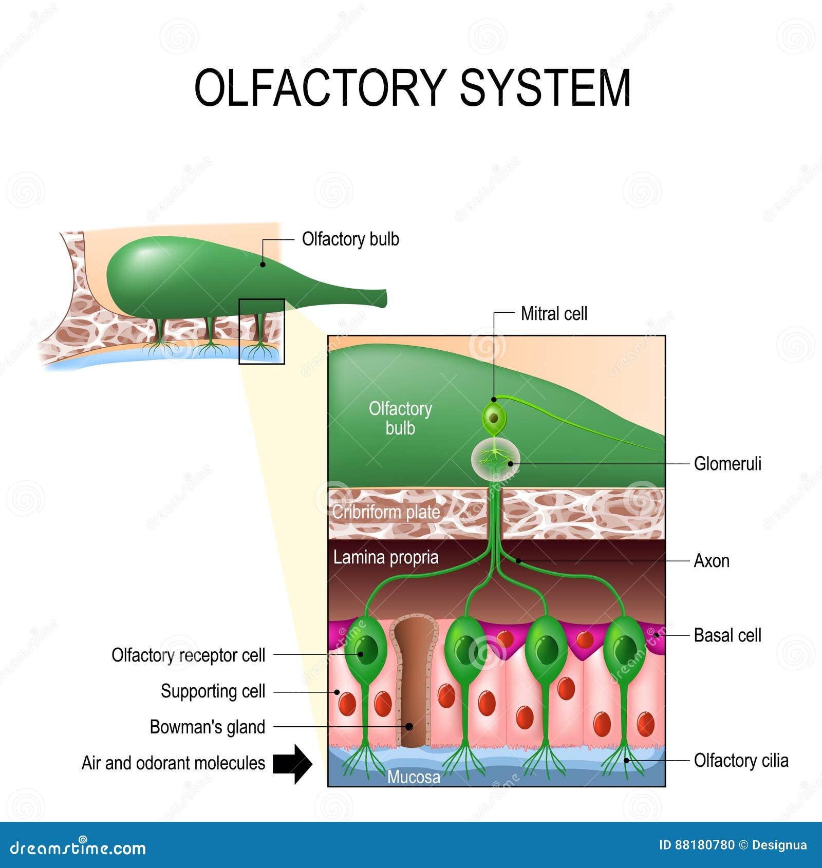 Olfaktorisches System Geruchssinn Menschliche Anatomie Vektor ...