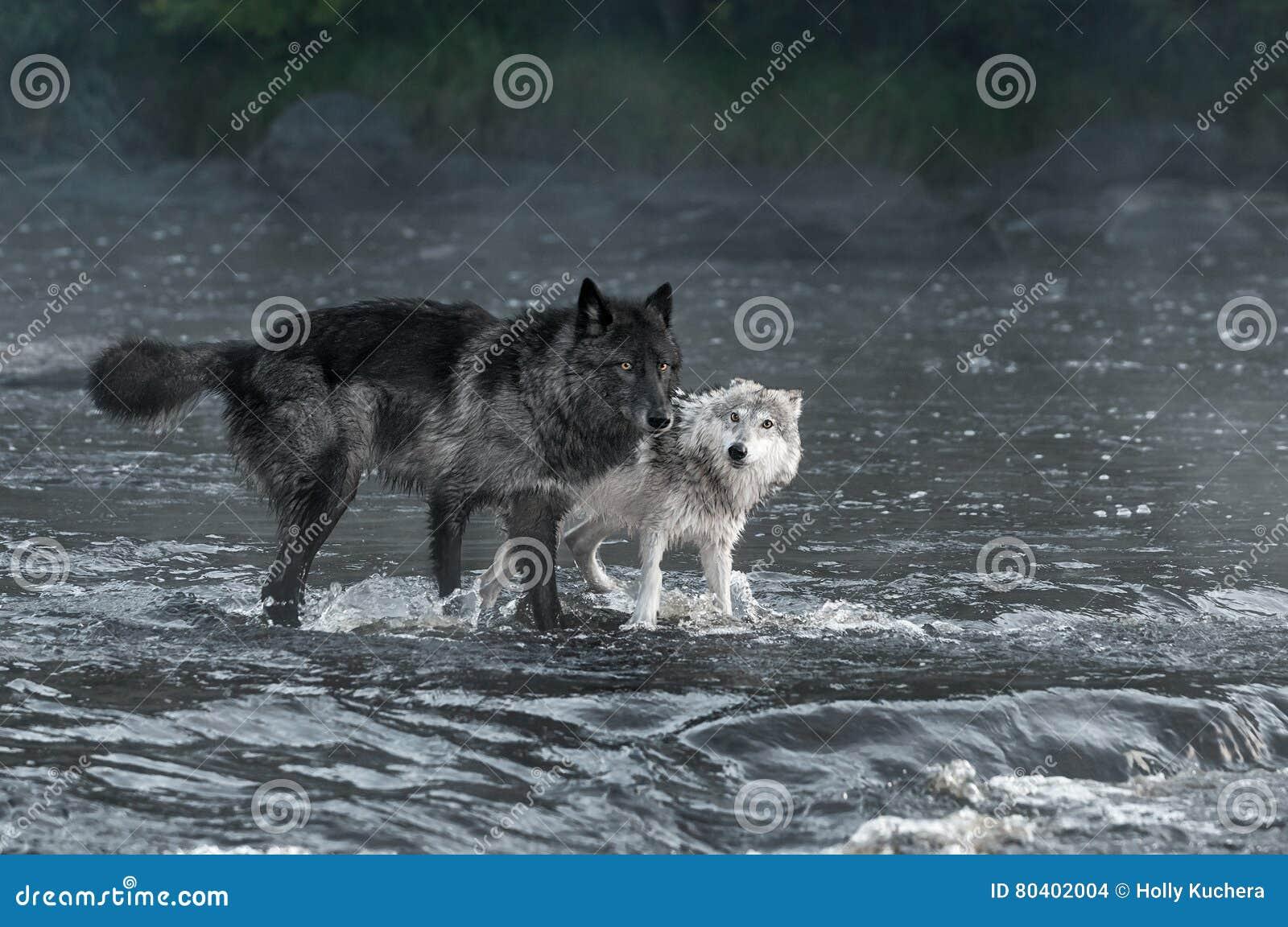Olhar do lúpus de Grey Wolves Canis para fora do rio
