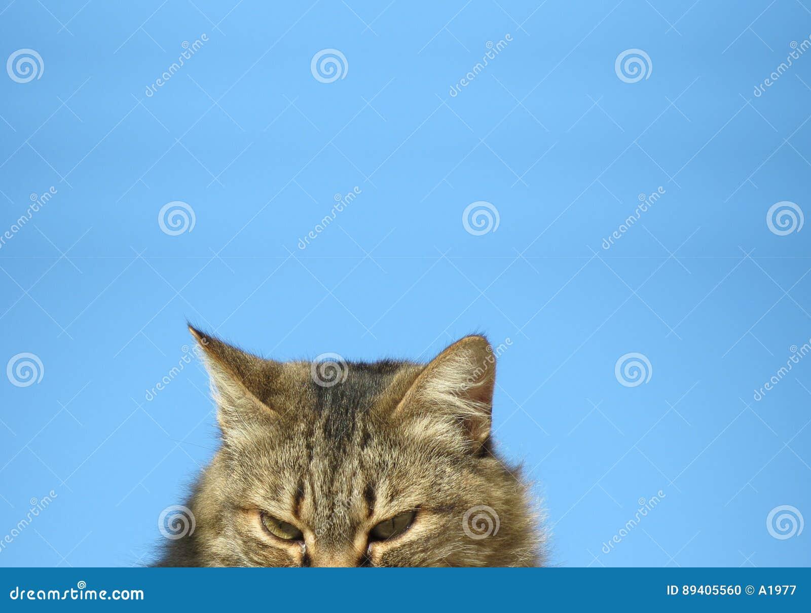 Olhar fixamente curioso do gato