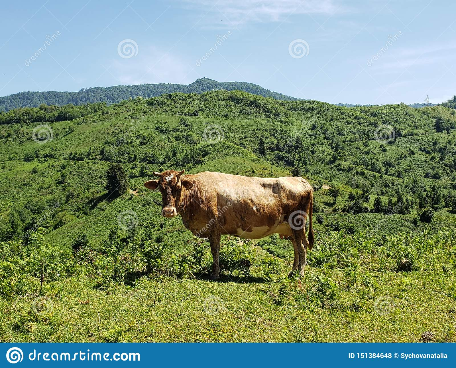 Olhar fixo da vaca