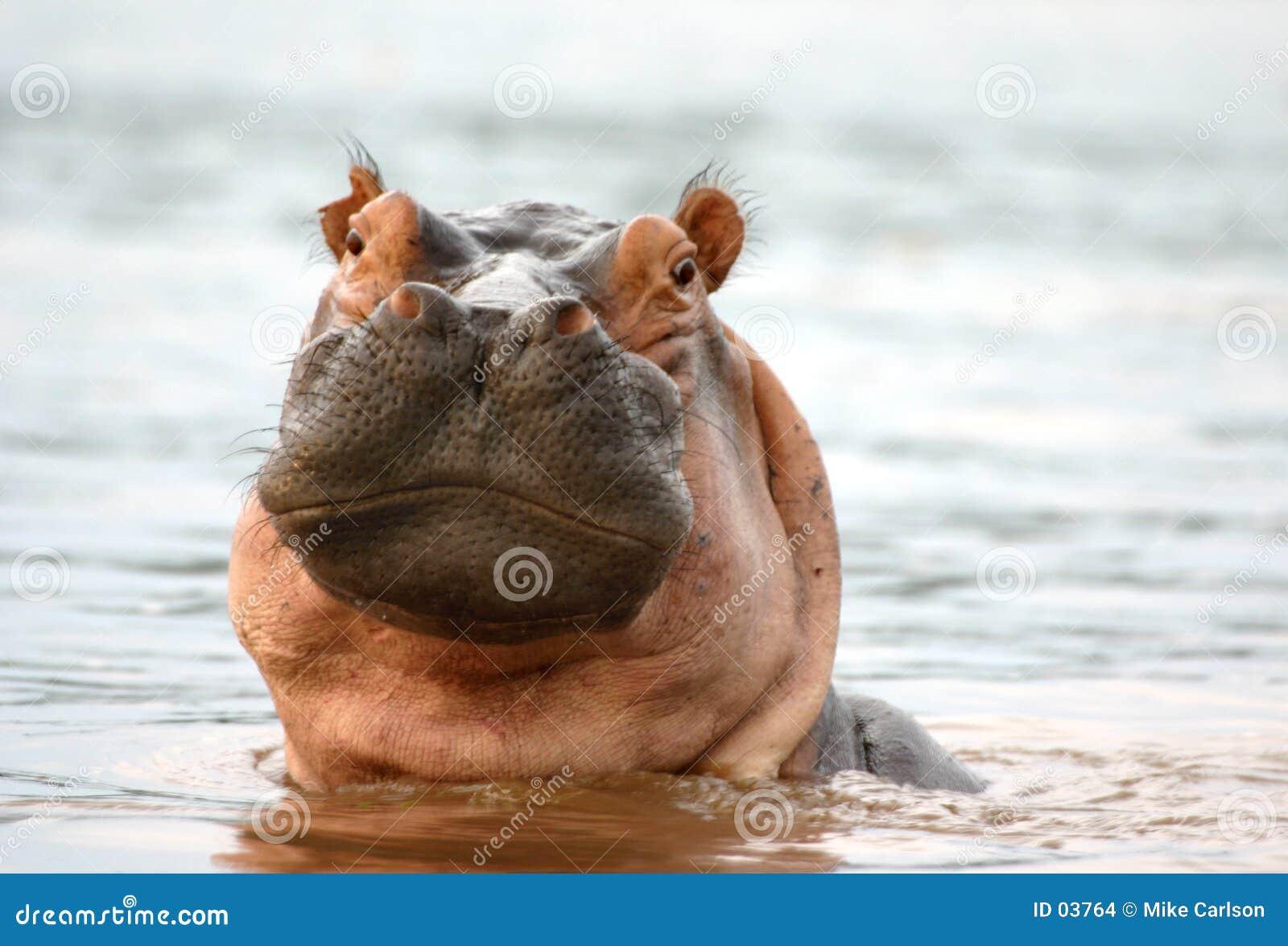 Olhar fixo do hipopótamo