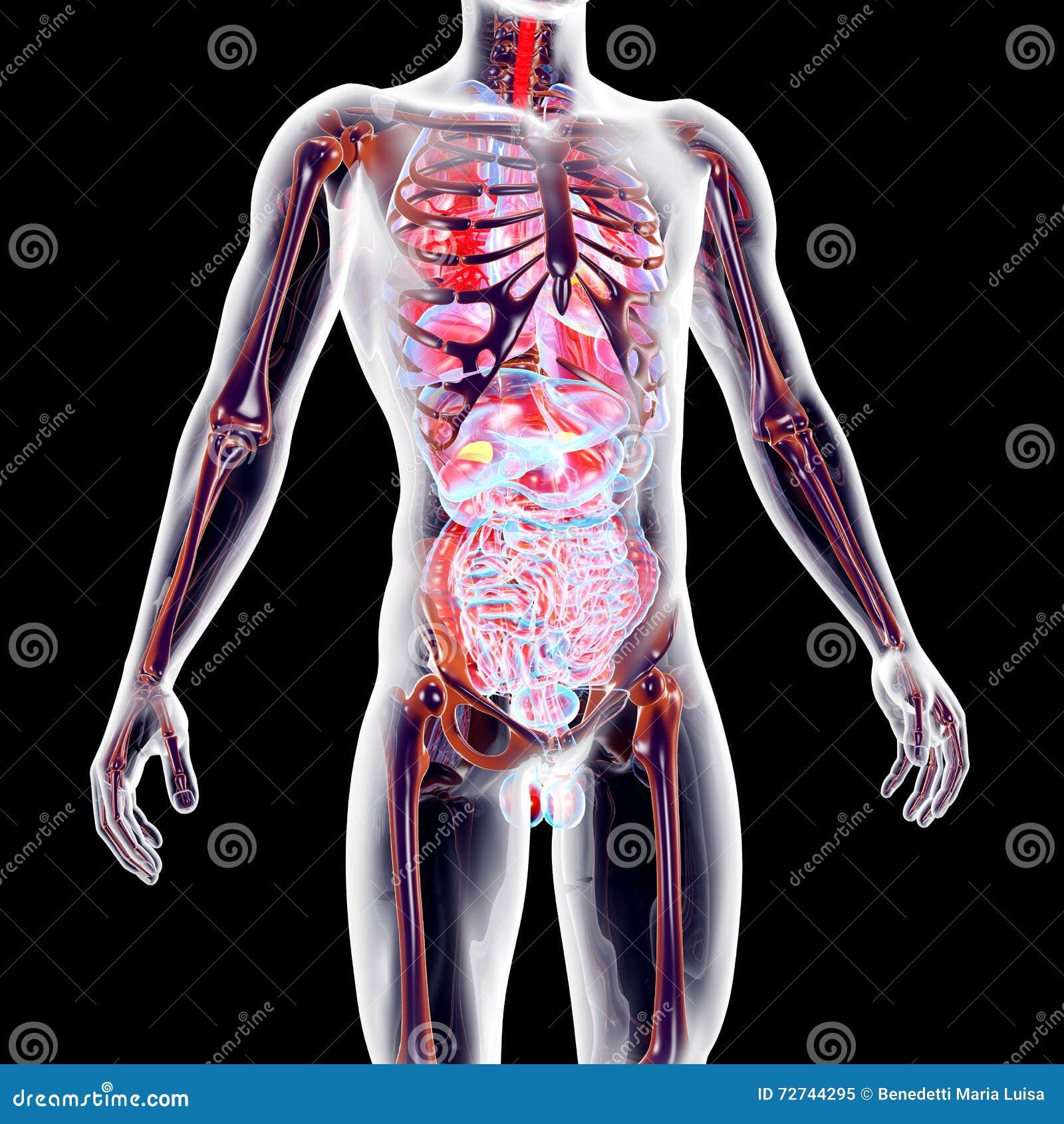 Foto corpo humano interno 2
