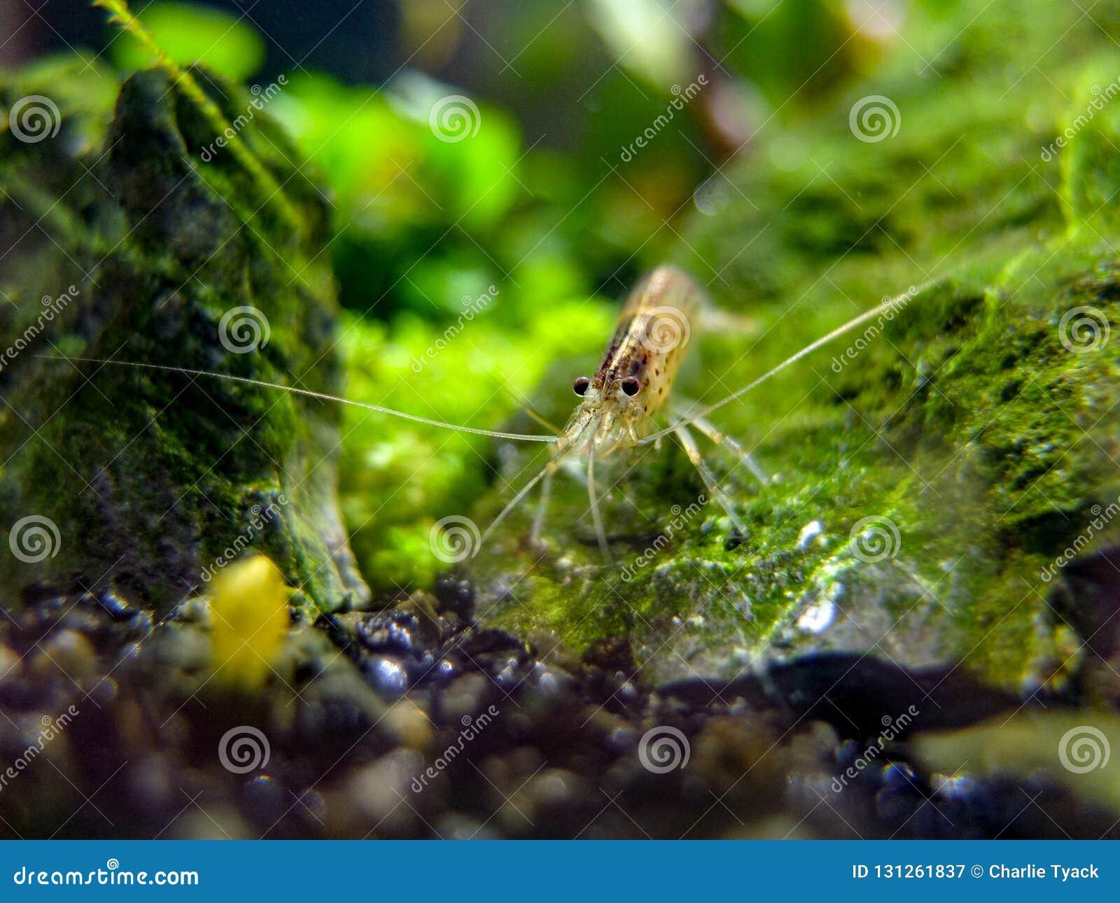 Olho ao olho com um camarão do amano