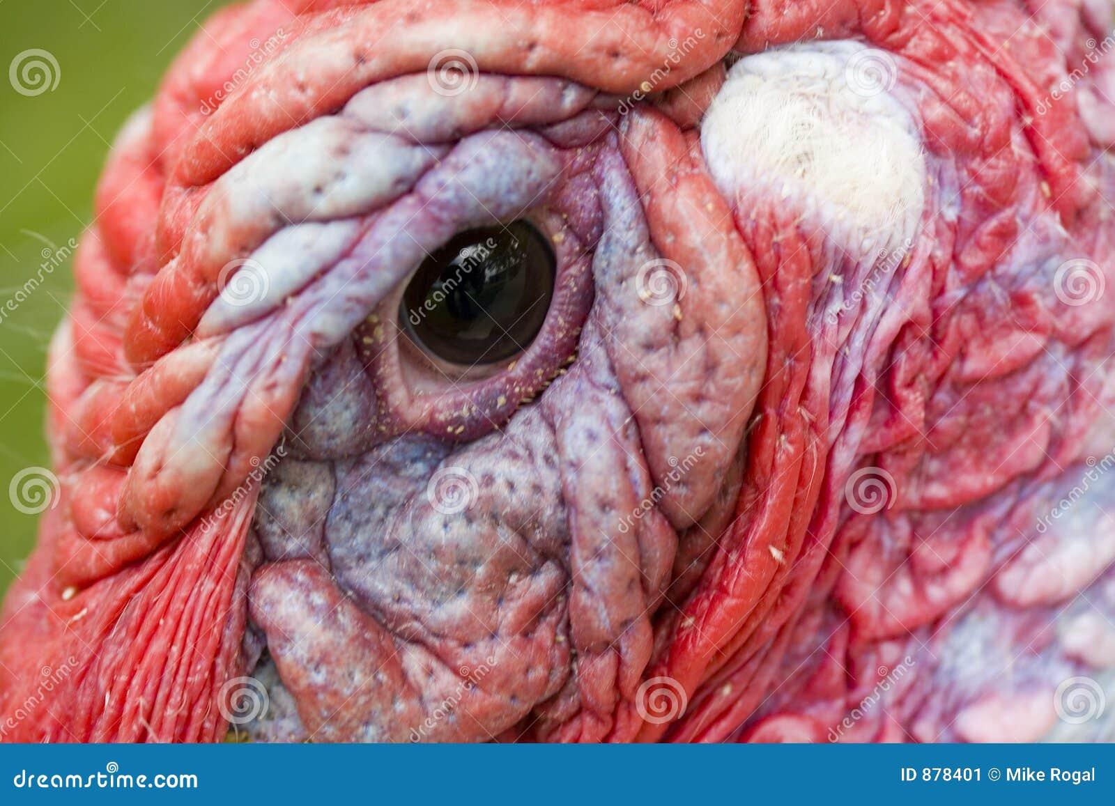 Olho de Turquia