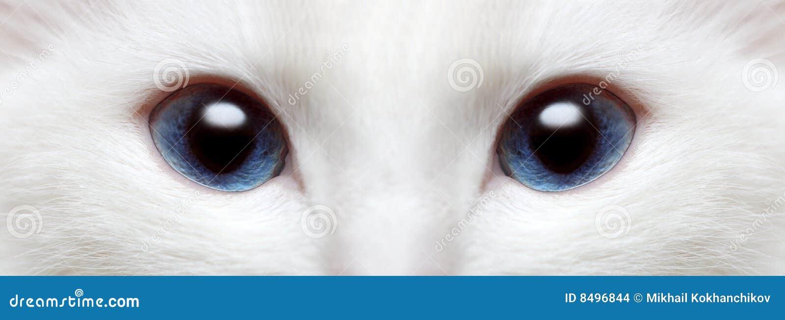 Olhos azuis do gato branco