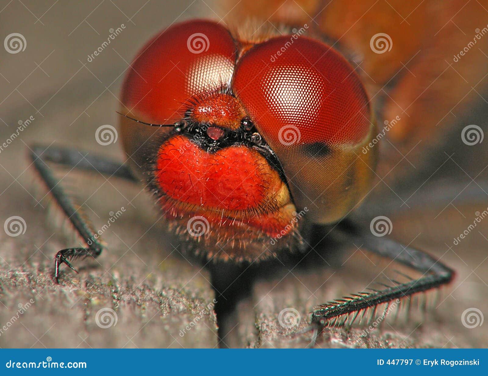 Olhos da libélula