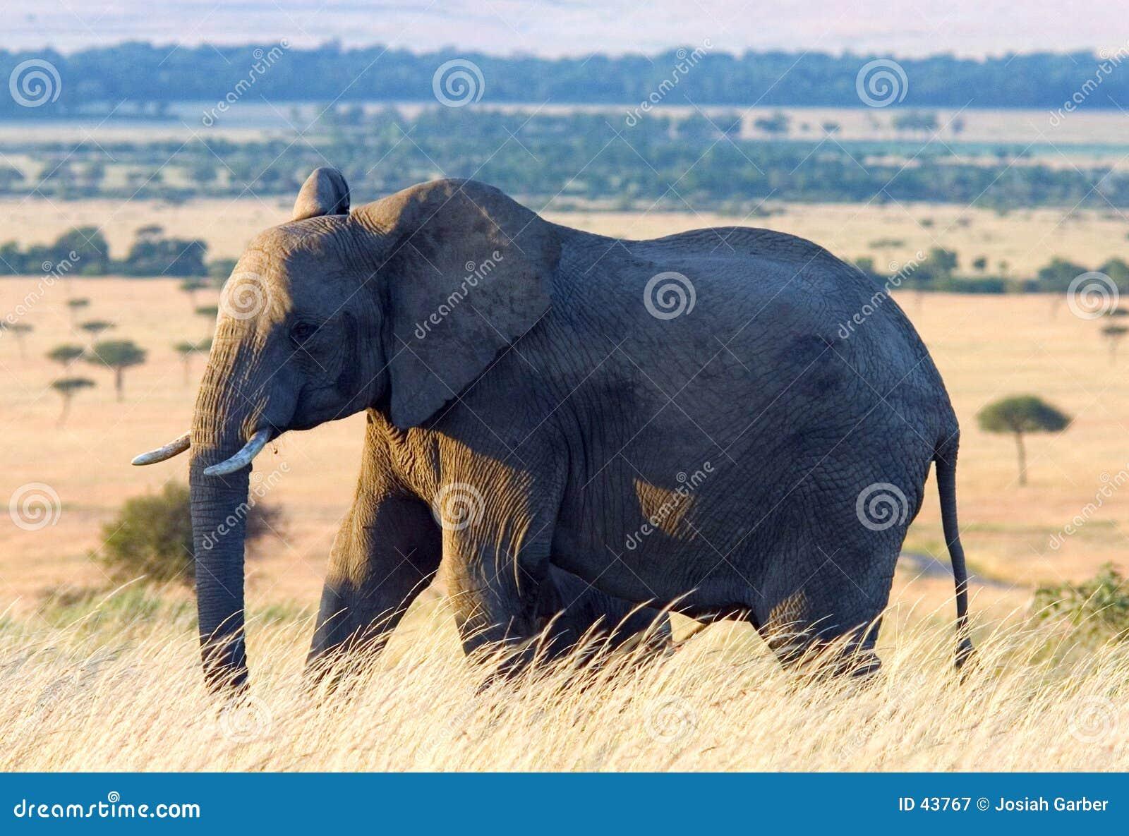 Olifant in de Afrikaanse Vlaktes