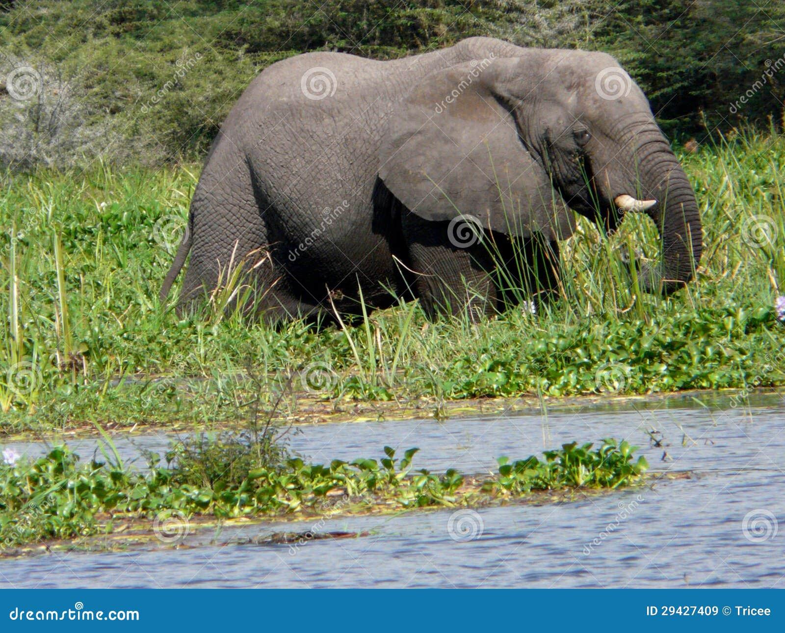 Olifant in de rivier Victoria Nijl
