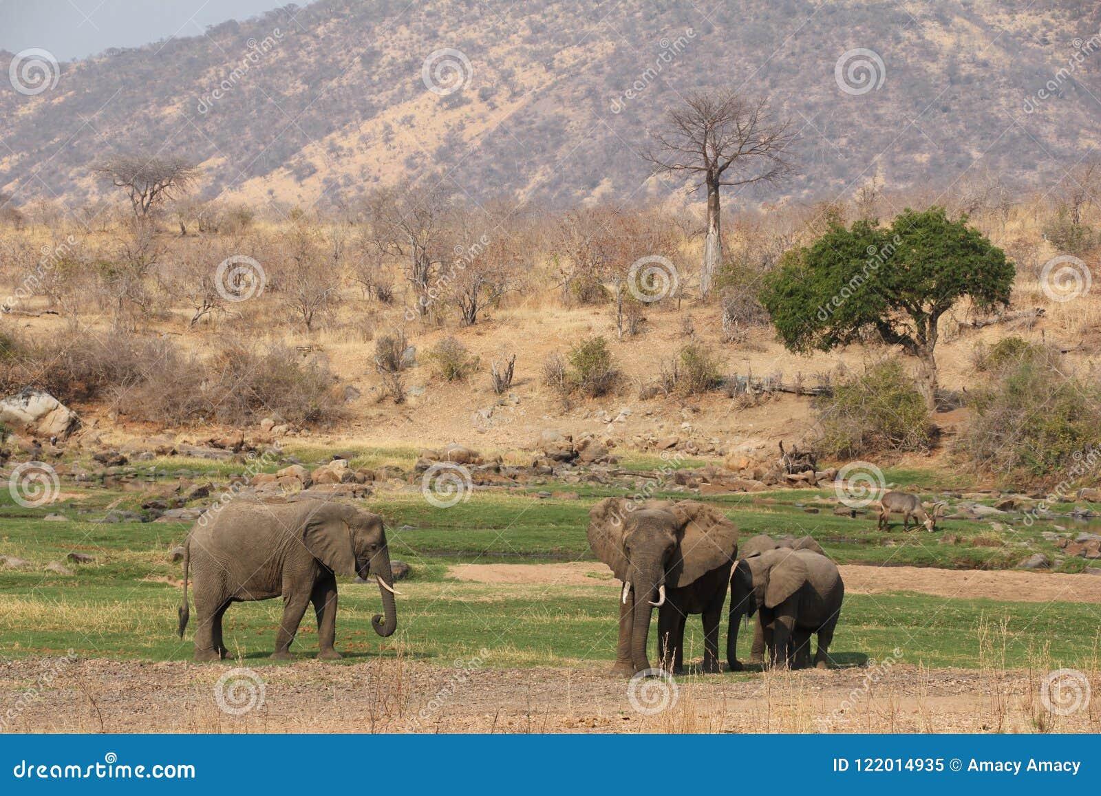 Olifant in de struik bij ruaha nationaal park