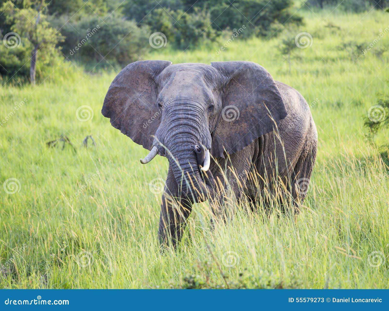 Olifant in de wildernis