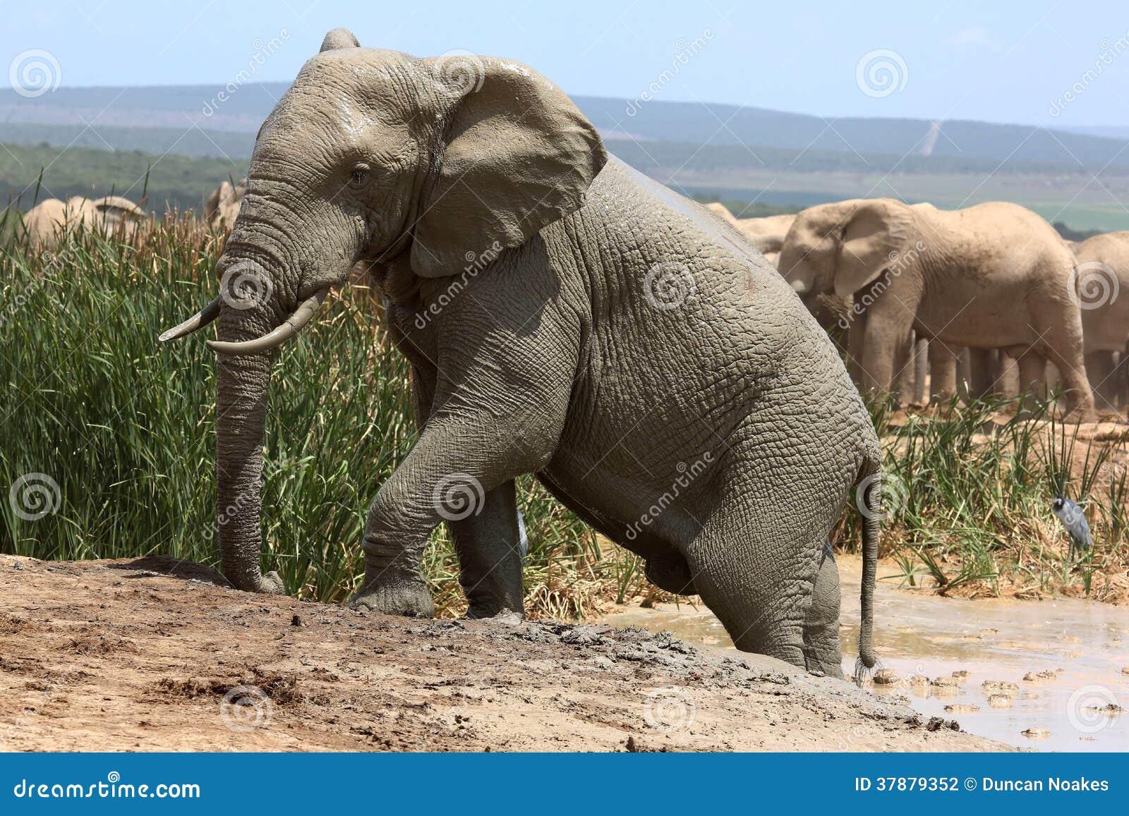 Olifant die uit Modderbad beklimmen