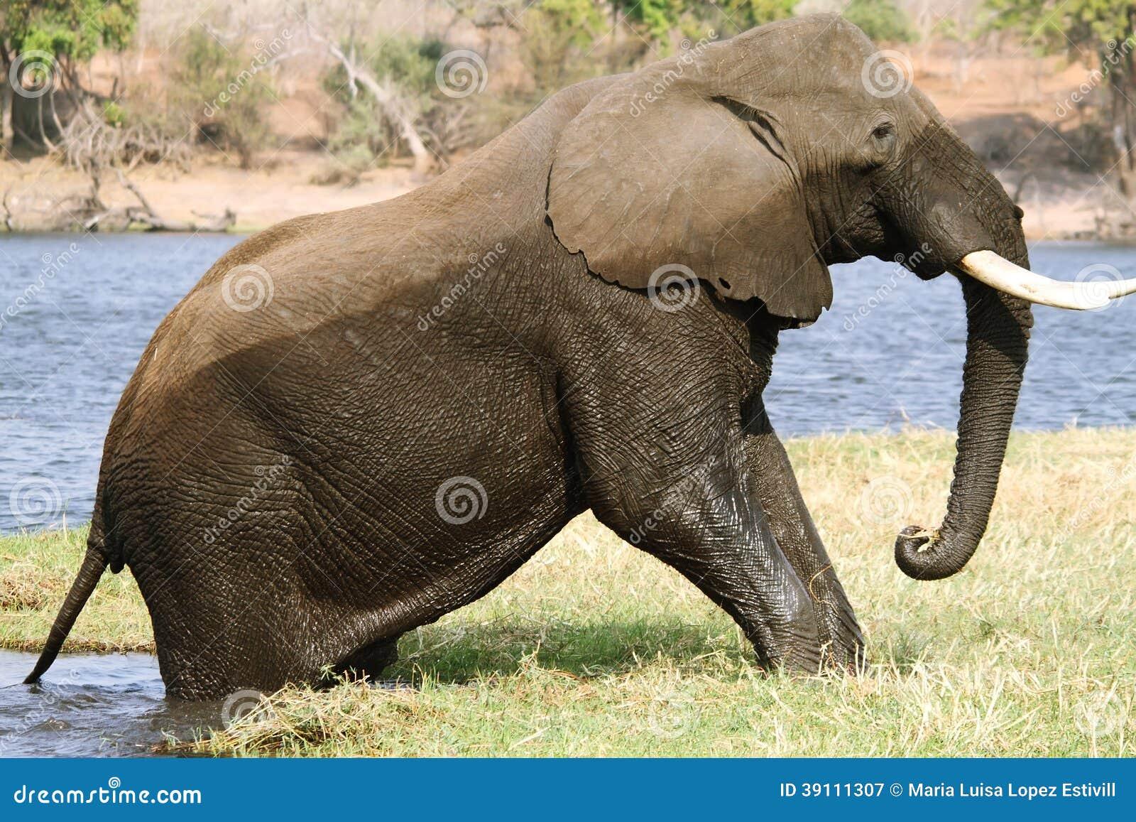 Olifant die van water in Chobe weggaan riverfront
