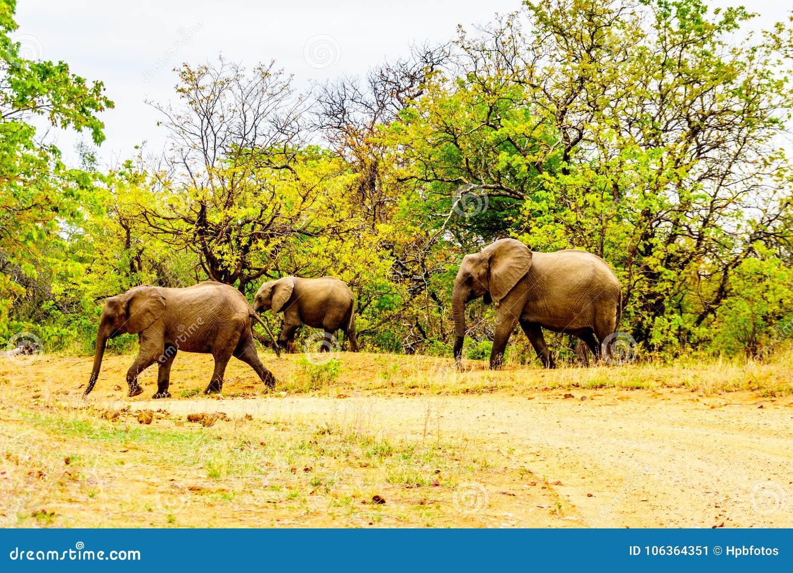 Olifantsfamilie in het bos van het Nationale Park van Kruger in Zuid-Afrika