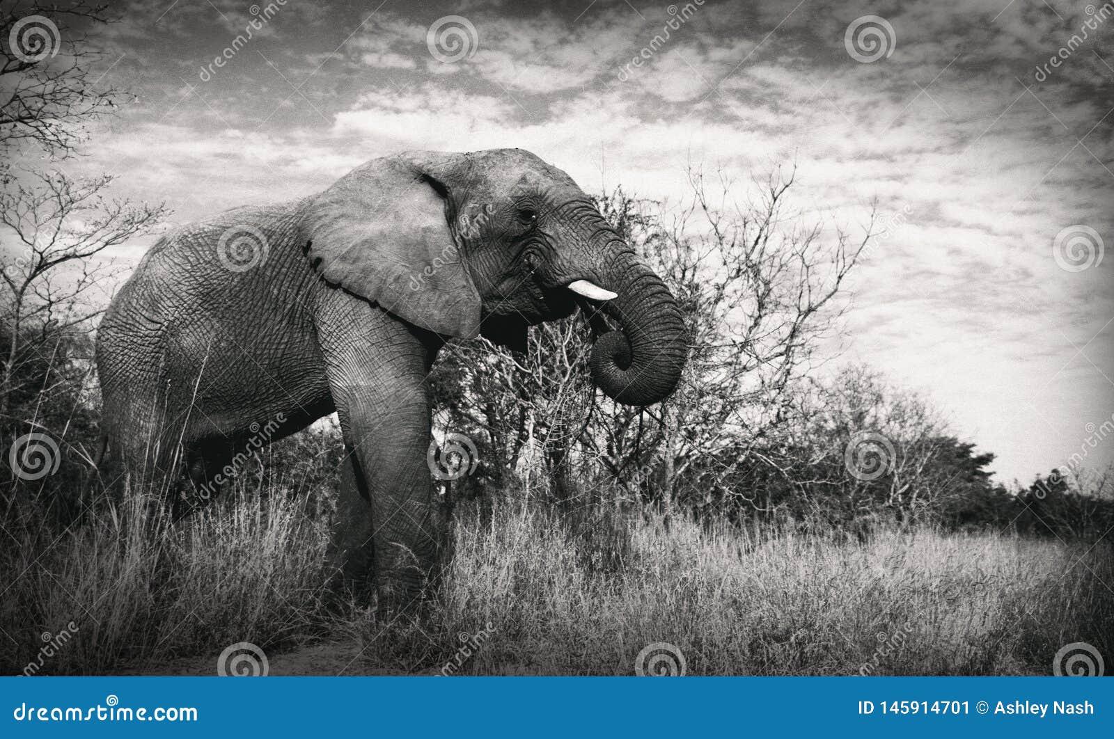 Olifantsolifant die het eten zoeken naar voedselslagtanden