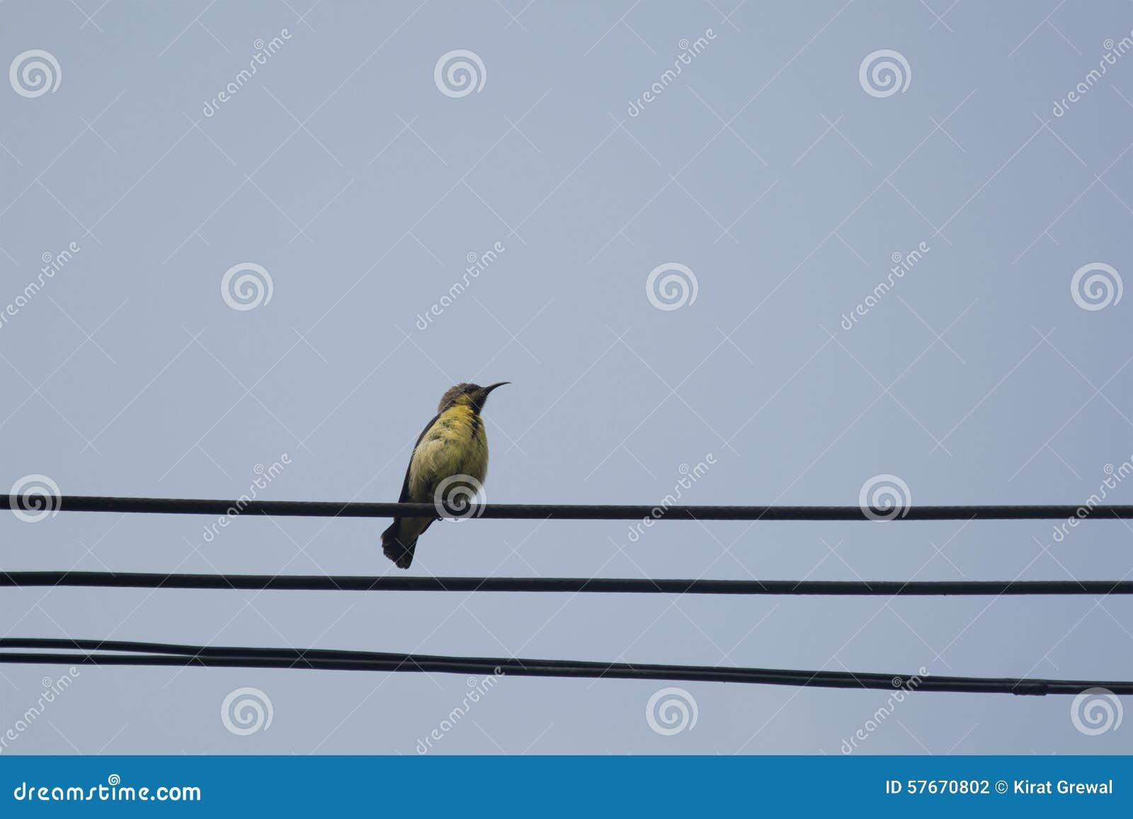 Olijf-Gesteund wijfje sunbird