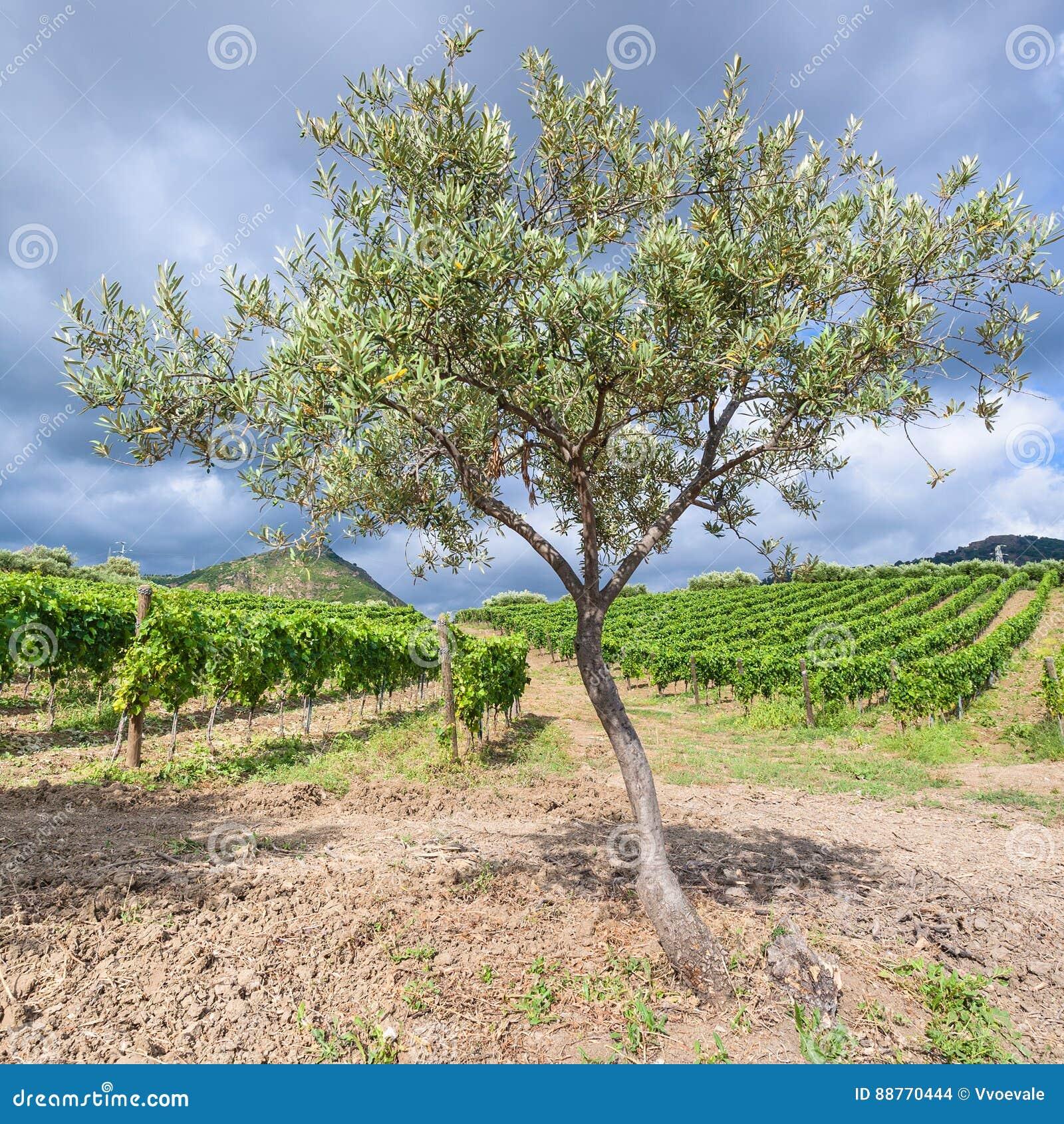 Olijfboom dichtbij wijngaarden in het gebied van Etna in Sicilië