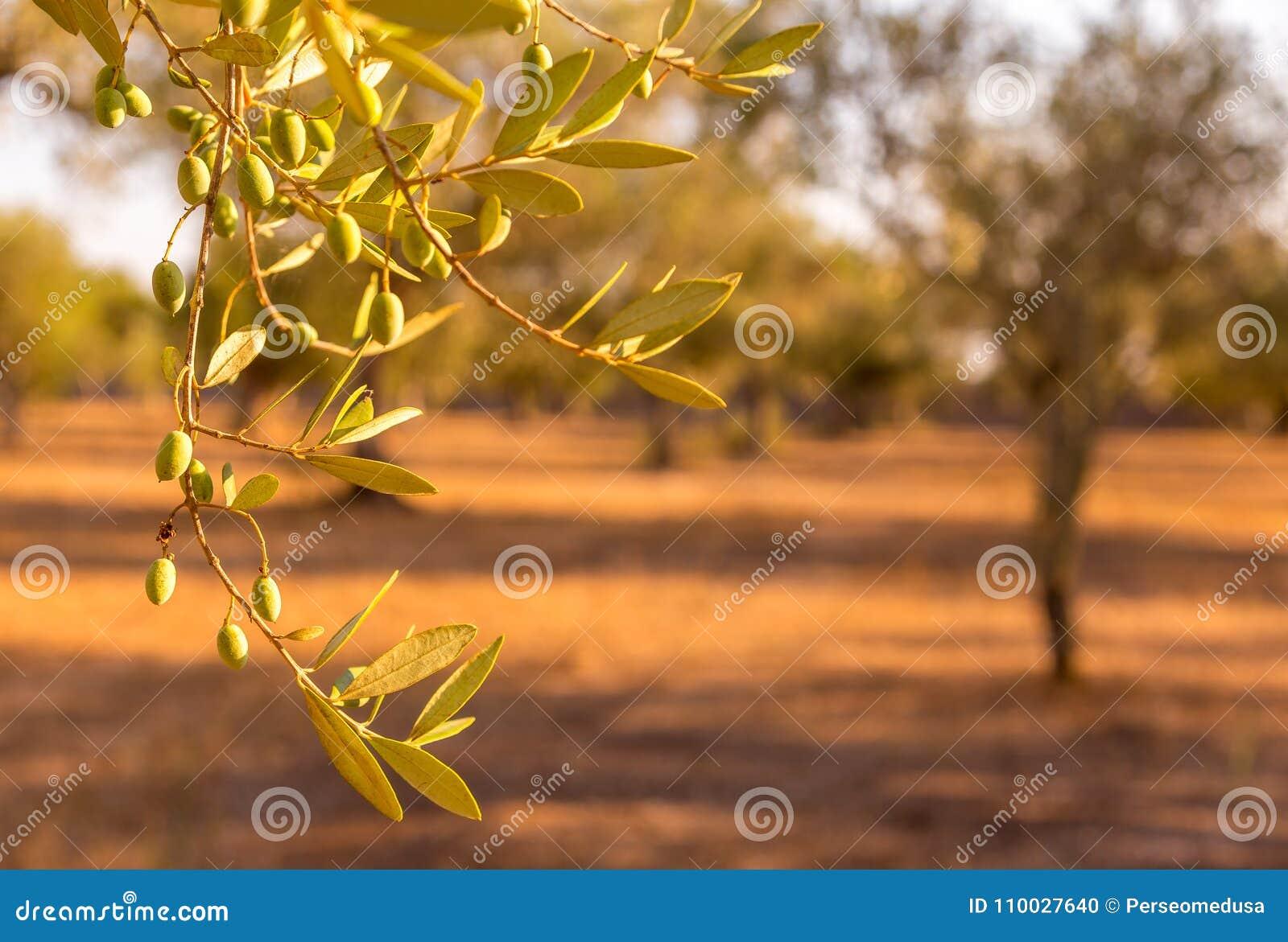 Olijfboom in Zuid-Italië